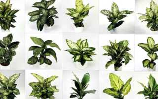 Виды диффенбахии: разновидности растения с фото