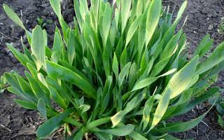 Лук-слизун: выращивание и уход, полезные свойства, фото