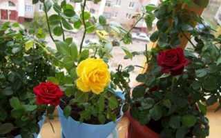 Как обрезать комнатную розу в горшке