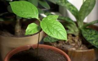 Выращивание хурмы в домашних условиях из семечка