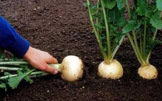 Посадка и выращивание репы в открытом грунте