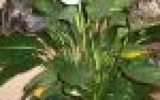 Почему желтеют листья у спатифиллума и что делать