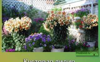 Лилия кустовая: посадка и уход, фото
