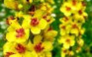 """Коровяк """"Царский скипетр"""": выращивание, посадка и уход за цветком"""