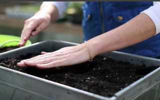 Выращивание рассады перца и её посадка в домашних условиях