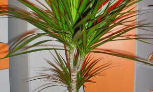 """Пальма """"Драцена"""": уход в домашних условиях, фото"""