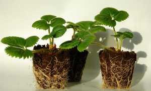 Как вырастить земляники из семян в домашних условиях