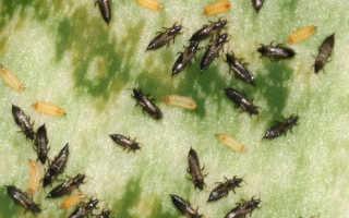 Трипсы на комнатных растениях: как бороться + фото болезни