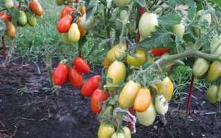 """Томат """"Челнок"""": характеристика и описание сорта, фото, урожайность + отзывы"""