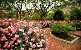Парковые розы: лучшие сорта для Подмосковья