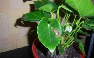 У антуриума на листьях коричневые пятна: сохнут кончики