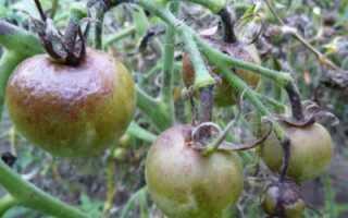 Профилактика и борьба с фитофторой на помидорах в теплице и открытом грунте