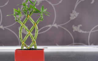 Бамбук как комнатное растение: фото, уход за бамбуком в домашних условиях