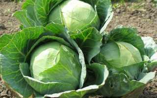 Лучшие поздние сорта капусты для длительного хранения
