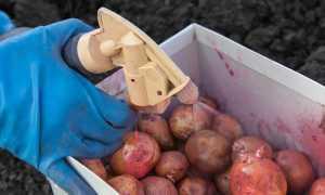 Чем обработать картофель перед посадкой: народные средства и химия