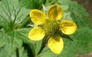 "Цветок ""Гравилат"": описание, виды, выращивание из семян, посадка и уход"