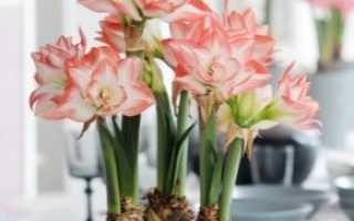 Почему не цветет гиппеаструм и что делать