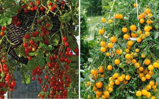 Ампельные томаты: описание, урожайность, виды с фото, отзывы
