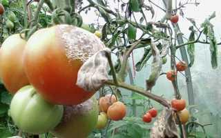 Медный купорос от фитофторы на помидорах: инструкция по применению