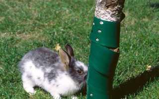 Как защитить яблони от грызунов и зайцев зимой