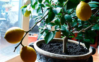 Болезни домашнего лимона: фото, причины и лечение
