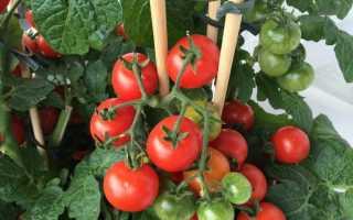 Лучшие сорта томатов для теплиц и открытого грунта на Урале