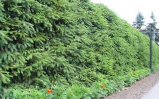 Из каких видов растений лучше сделать живую изгородь на даче