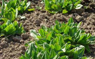 Как посадить щавель семенами и вырастить его в открытом грунте