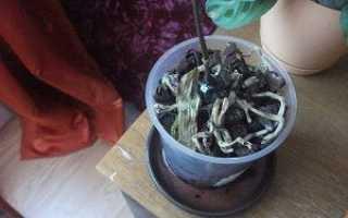 Почему у орхидеи опадают листья и что делать