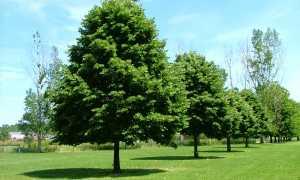Лиственные деревья средней полосы России: виды с фото и названиями