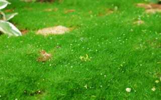 Мшанка шиловидная: фото, посадка и уход, выращивание из семян
