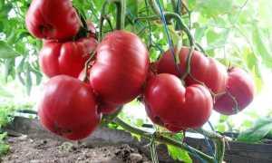 Агротехника для богатого урожая томатов Розовый мед