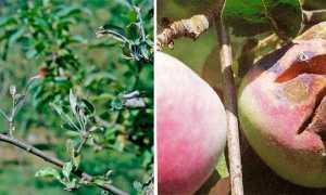 Мучнистая роса на яблоне: как бороться и не допустить в будущем