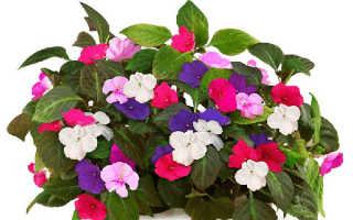 Цветок Ванька Мокрый: уход в домашних условиях