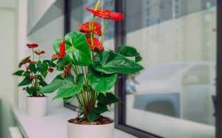 Светолюбивые комнатные растения с названиями и фото