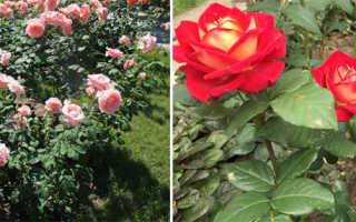 Чайно-гибридные розы – названия сортов с фото и описанием