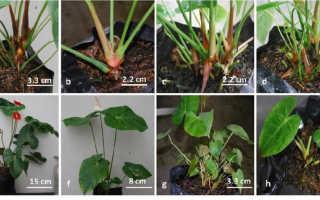 Выращивание антуриума из семян в домашних условиях