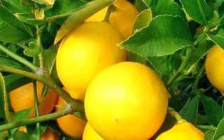 Комнатный Лимон: посадка, уход и выращивание в домашних условиях