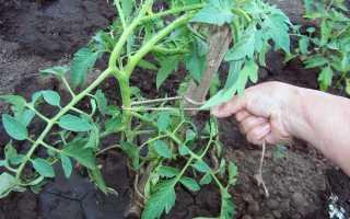 Посадка помидоров в теплицу из поликарбоната: схема, инструкции, видео
