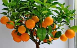 Сорта мандаринов с описанием и фото