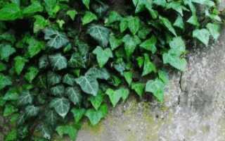 Плющ садовый вечнозеленый – размножение, посадка и уход
