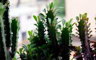 Молочай: описание, размножение, посадка и уход в домашних условиях
