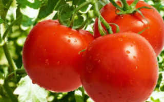 """Томат """"Санька"""": характеристика и описание сорта с фото, урожайность и выращивание"""