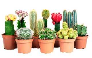 Как выращивать кактусы в домашних условиях