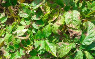 Фитофтора на картофеле: фото и описание, как бороться