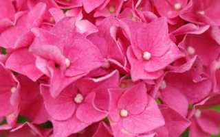 Как сажать гортензию весной в открытый грунт