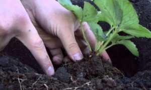 Посадка земляники весной в открытый грунт
