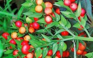 Иглица понтийская: описание, среда обитания, полезные свойства