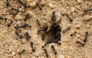 Как избавиться от муравьев на грядках: народные средства и препараты